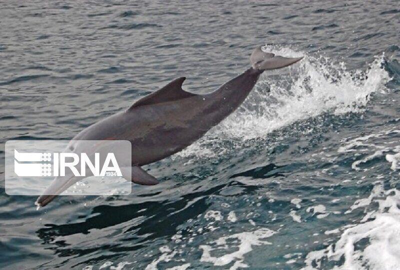 خبرنگاران مشاهده لاشه یک دلفین در سواحل جزیره کیش
